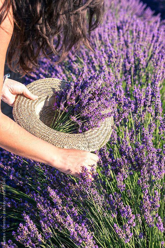 mua hoa lavender khô